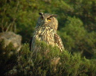 A healthy population of Eagle Owl Bubo bubo thrive...